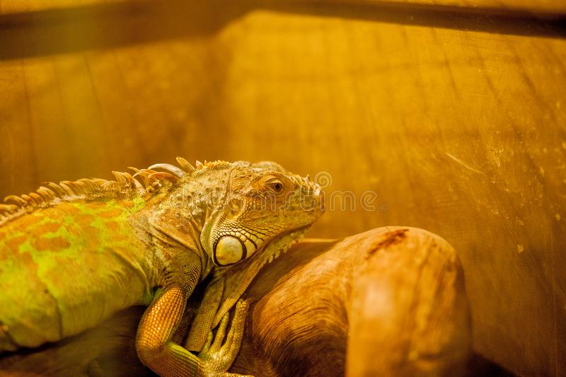Green iguana, also known as American iguana, is a large, arboreal, lizard. Found in captivity as a pet due to its calm disposition. And bright colors. Exotic stock photos