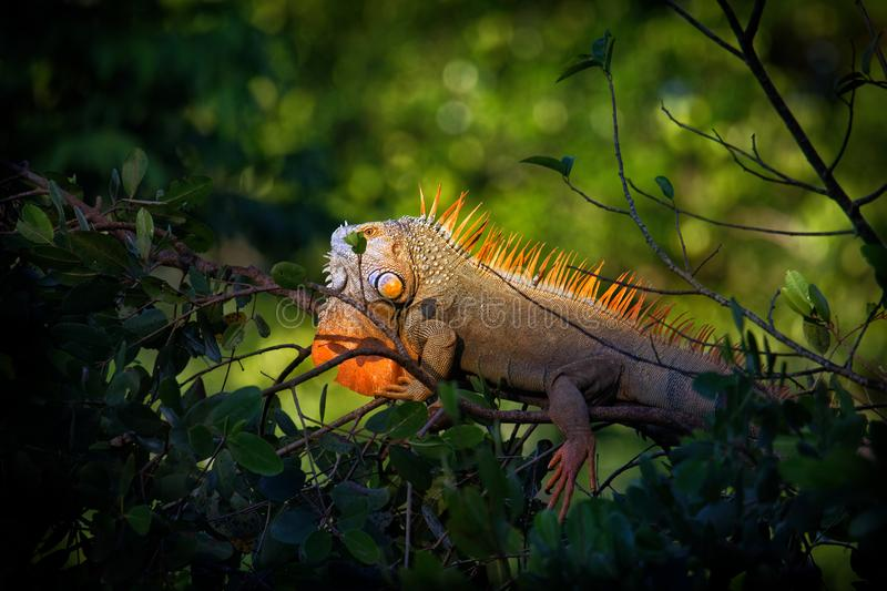 Green iguana - Iguana iguana  also known as the American iguana, is a large, arboreal, mostly herbivorous species of lizard of the. Genus Iguana stock photos