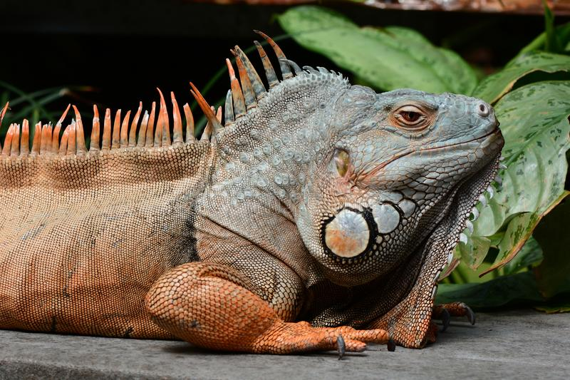 Green iguana basks in the sun. A large male green iguana soaks up the rays in the gardens royalty free stock photography