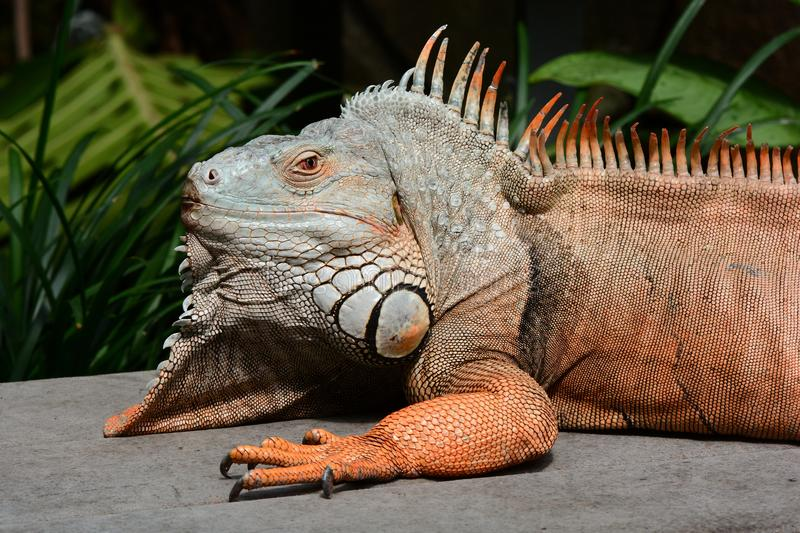 Green iguana basks in the sun. A large male green iguana soaks up the rays in the gardens stock photography