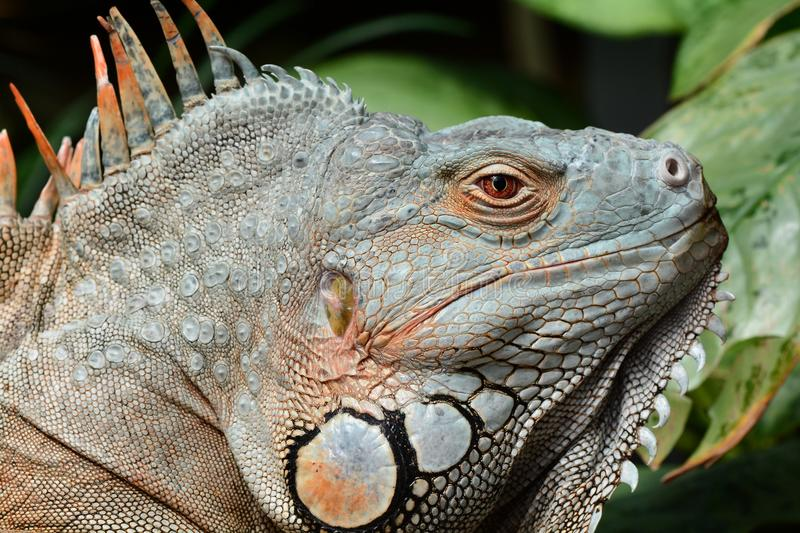 Green iguana basks in the sun. A large male green iguana soaks up the rays in the gardens stock photo