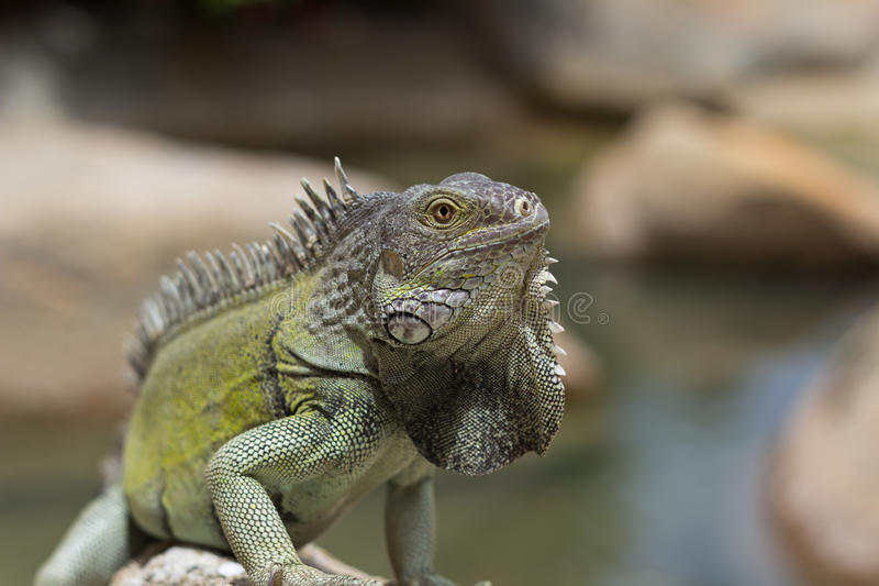 Download Green Iguana Bathing In The Sun, Aruba Stock Image - Image: 25789527