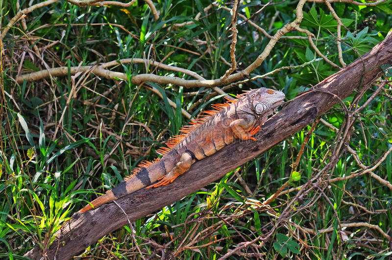 Green Iguana On Branch Royalty Free Stock Photo
