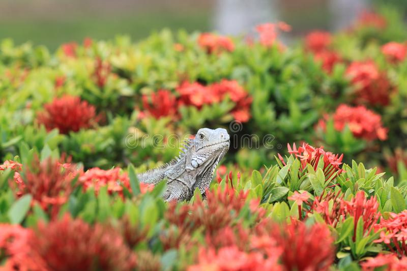 Green Iguana in the bushes of Aruba. Green iguana sitting in the green bushes, red flowers around. Taken on Aruba Island. Picture of an animal royalty free stock photo