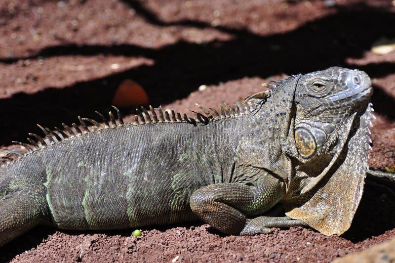 Green Iguana. Close-up of a Green Iguana stock images