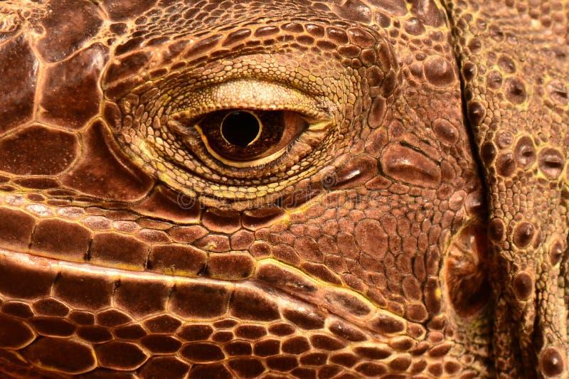 A Green Iguana. An iguana close up facial image stock photography