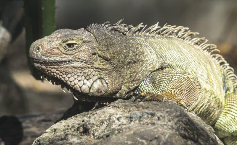 Green iguana or Common iguana stock photos