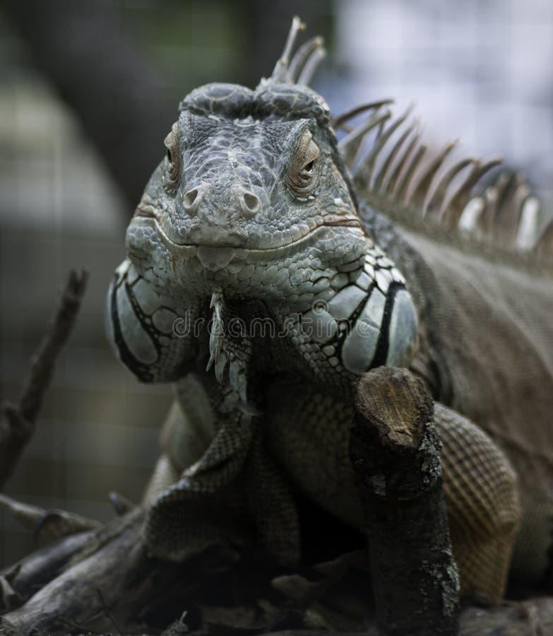 Green iguana frontal view stock photo. Image of herbivorous - 35304780