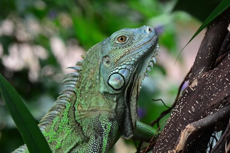 Green iguana. A green iguana poses for a photo in the jungle environment royalty free stock image