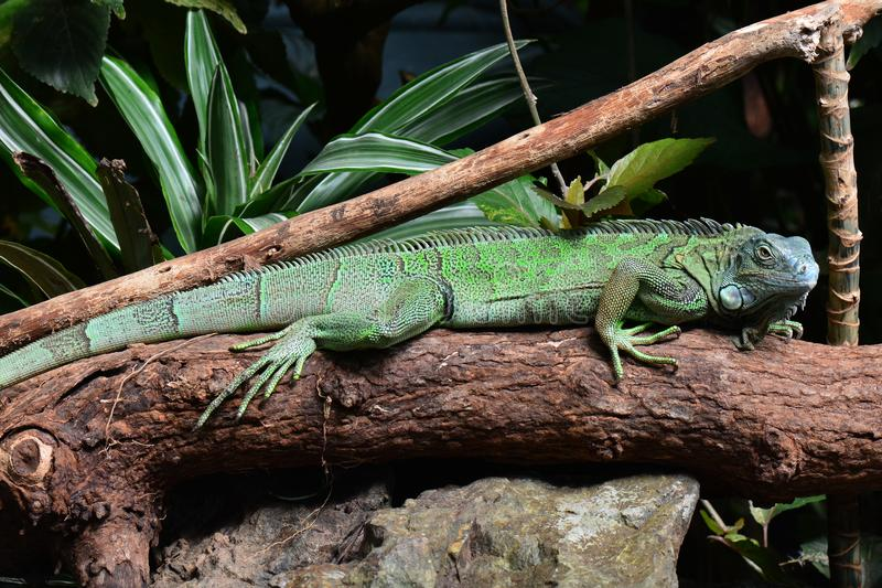 Green iguana. A green iguana suns itself on a log in the jungle environment royalty free stock images