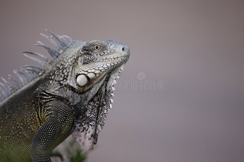 Download Green Iguana (Iguana Iguana) Stock Image - Image: 7461641
