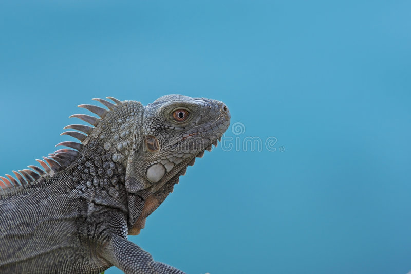 Download Green Iguana (Iguana Iguana) Stock Image - Image of antilles, iguana: 8727235
