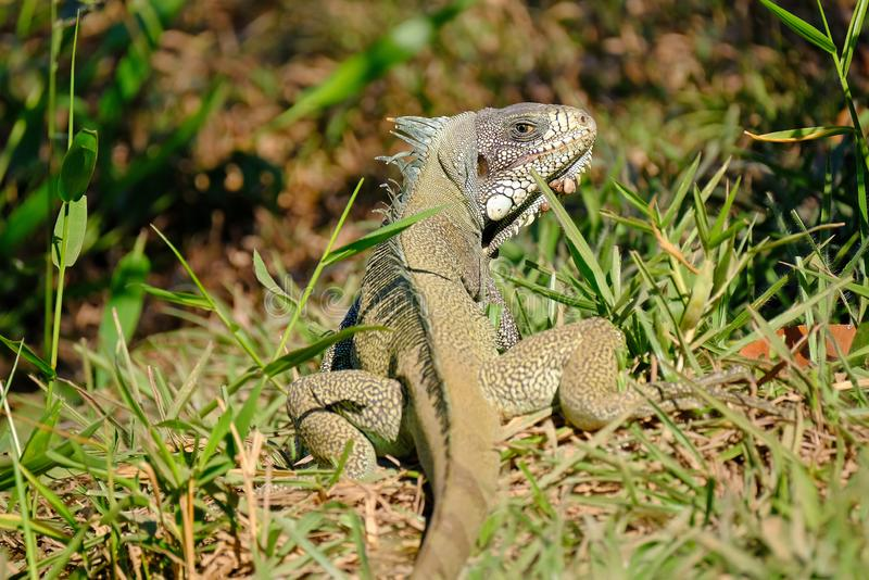 Green Iguana, Iguana Iguana, also known as the American Iguana, Pantanal, Porto Jofre, Mato Grosso, Brazil stock images