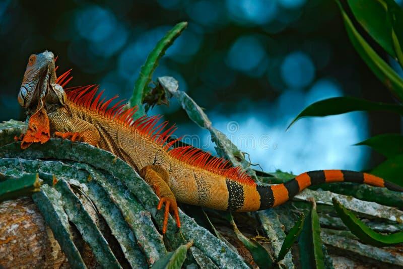 Green iguana, Iguana iguana, portrait of orange big lizard in the dark green forest, animal in the nature tropic forest habitat stock image