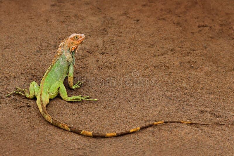Green iguana, Iguana iguana, portrait of orange and green big lizard in the dark green forest. Animal in the nature tropic river h. Abitat royalty free stock photos