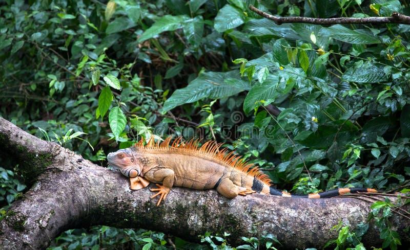 Green iguana Iguana iguana resting in Costa Rica stock photo