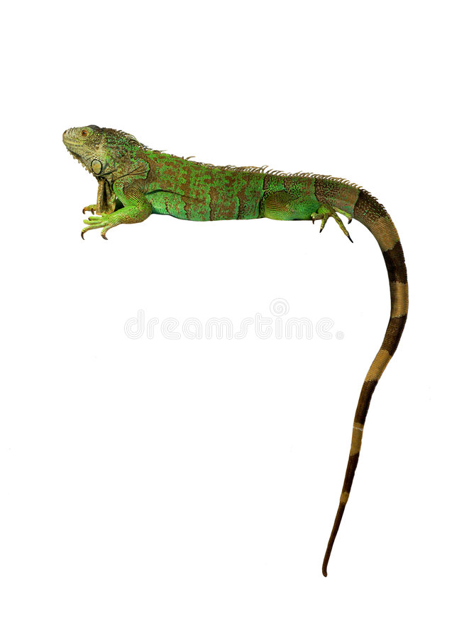 Green iguana isolated against white background stock photos