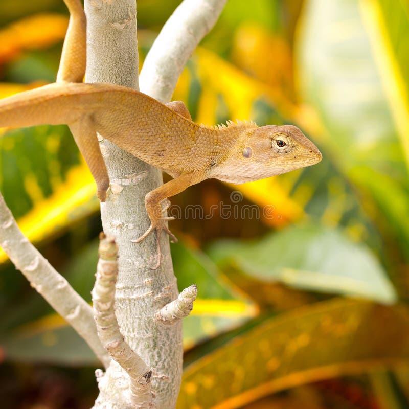 Green iguana i. N the jungle royalty free stock image