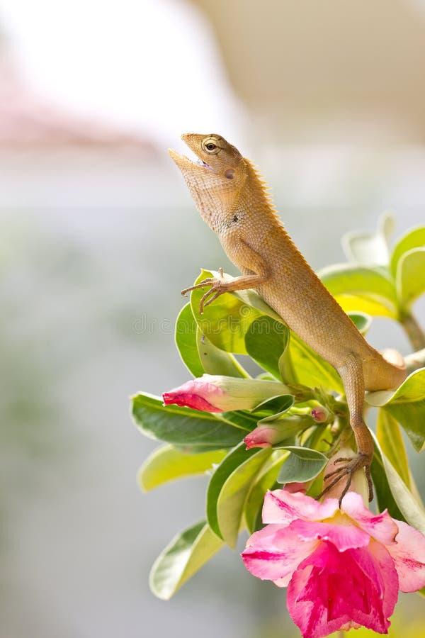 Green iguana i. N the jungle stock photography