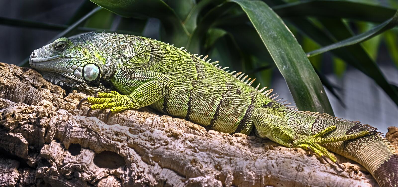 Green iguana 7 stock photography