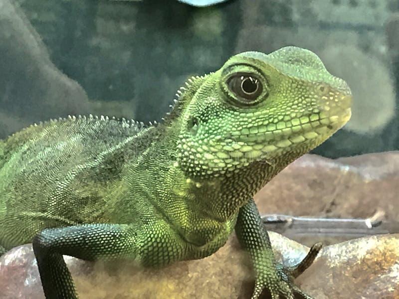 Green iguana lizard stock photography