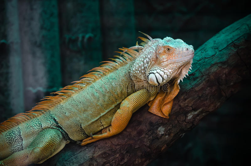 Green iguana on a log. Looking at the camera stock photo
