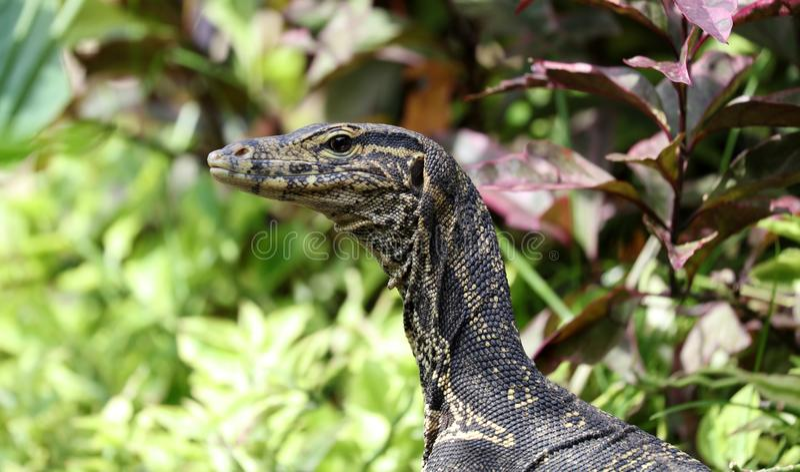 Iguana male beautiful multicolor animal, colorful reptile in south Florida. Green Iguana male beautiful multicolor animal, colorful reptile in Bali Indonesia royalty free stock image