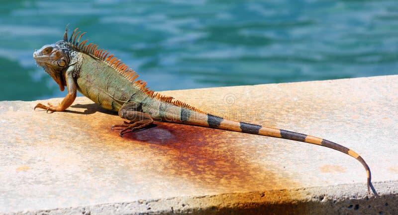 Green Iguana male beautiful multicolor animal, colorful reptile in south Florida. Miami Beach stock photo