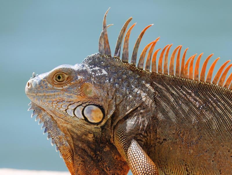 Green Iguana male beautiful multicolor animal, colorful reptile in south Florida. Miami Beach royalty free stock photo
