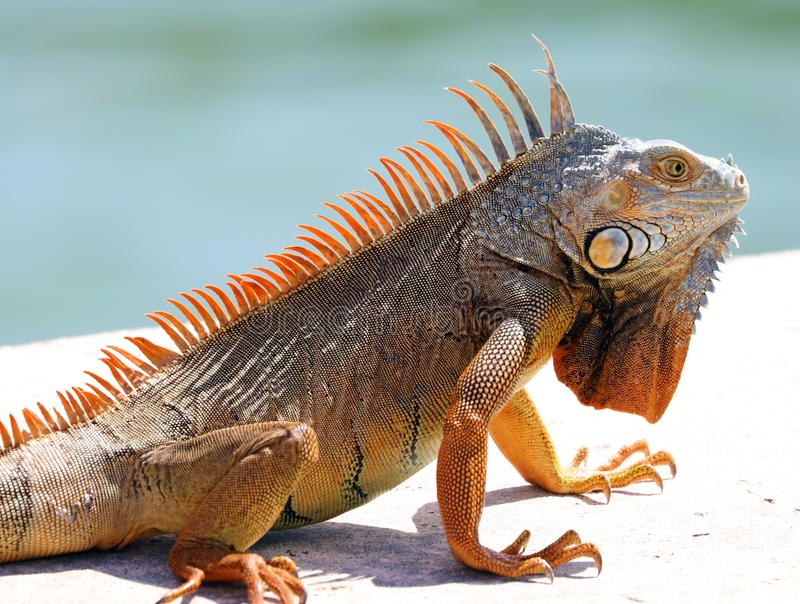 Green Iguana male beautiful multicolor animal, colorful reptile in south Florida. Miami Beach royalty free stock photos