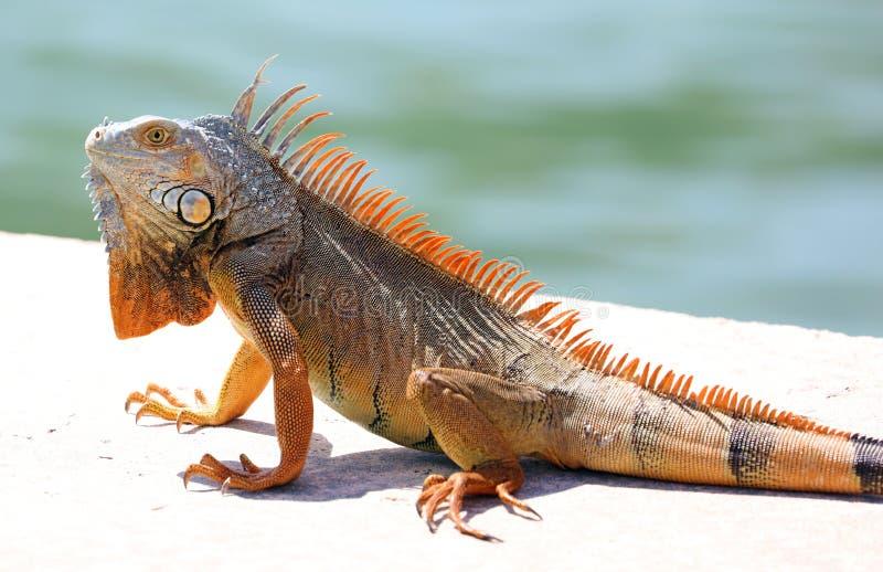 Green Iguana male beautiful multicolor animal, colorful reptile in south Florida. Miami Beach stock photography