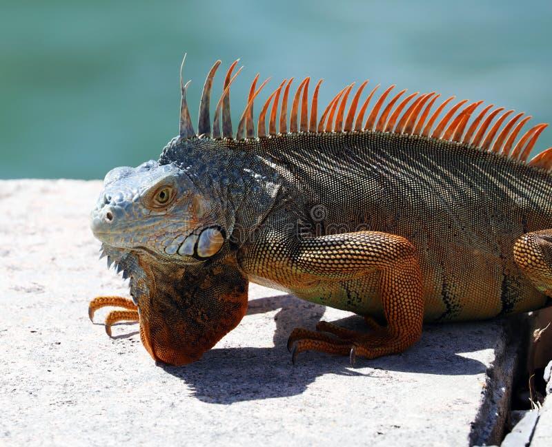 Green Iguana male beautiful multicolor animal, colorful reptile in south Florida. Miami Beach stock image