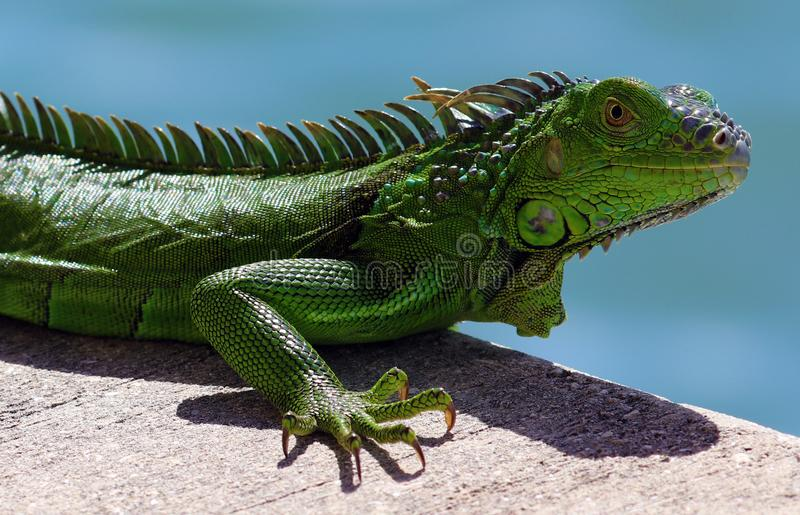Green Iguana male beautiful multicolor animal, colorful reptile in south Florida. Miami Beach royalty free stock photography
