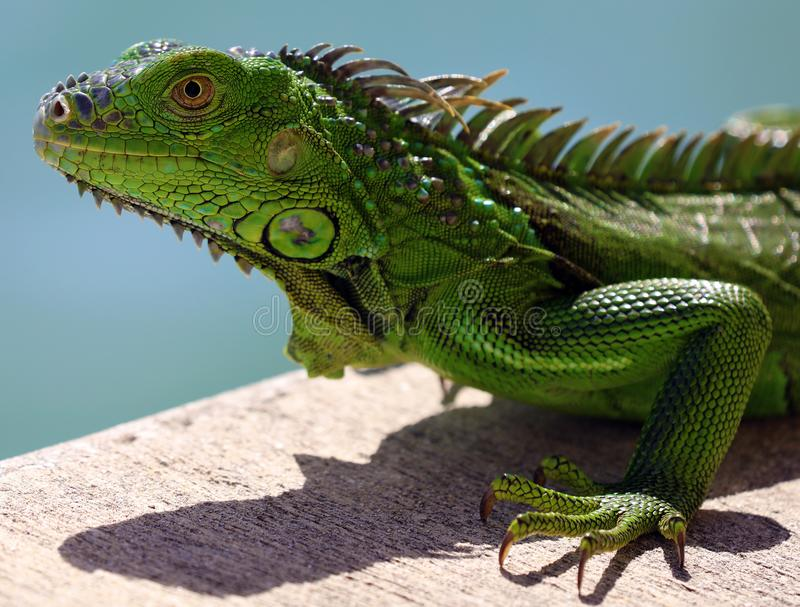 Green Iguana male beautiful multicolor animal, colorful reptile in south Florida. Miami Beach royalty free stock images