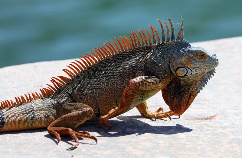 Green Iguana male beautiful multicolor animal, colorful reptile in south Florida. Miami Beach stock photos