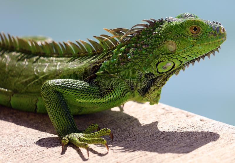 Green Iguana male beautiful multicolor animal, colorful reptile in south Florida. Miami Beach royalty free stock image