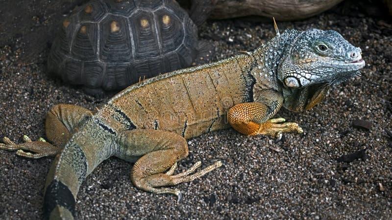 Green iguana male 2 stock image