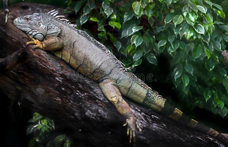 Green iguana male 3 stock image