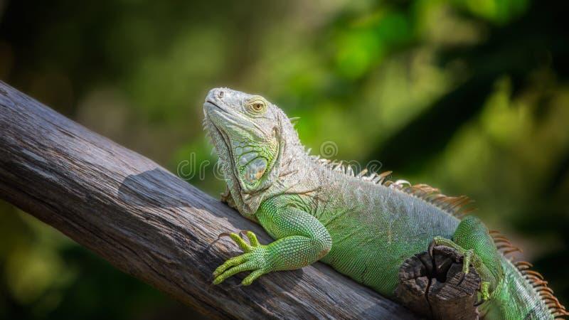 Green Iguana stock photo