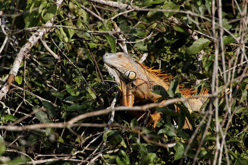 A green iguana peeking from a tree