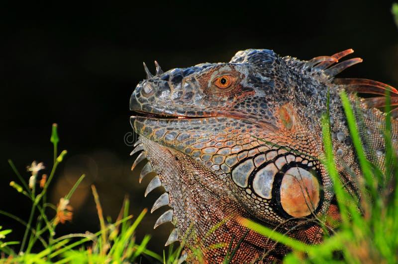 Green iguana profile