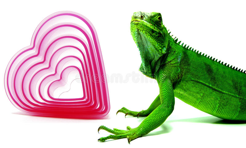 Green Iguana and red hearts stock photos