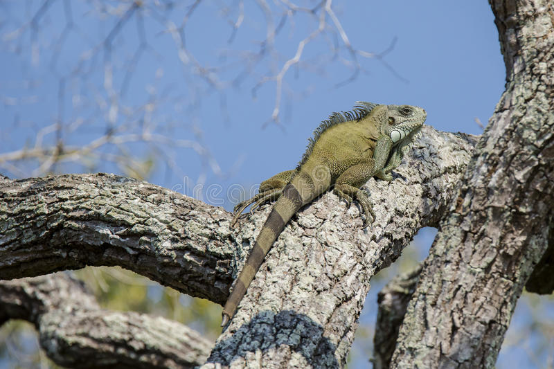 Green Iguana with Regenerated Tail on Thick Tree Branch. Against a blue sky, this green Iguana sunning high in a tree on a thick gray tree branch, has a tail tip royalty free stock photo