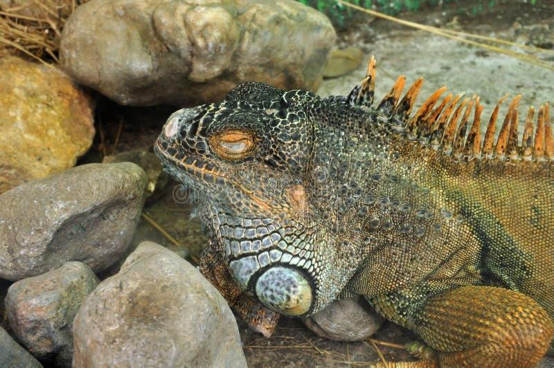 Green iguana reptile stock image