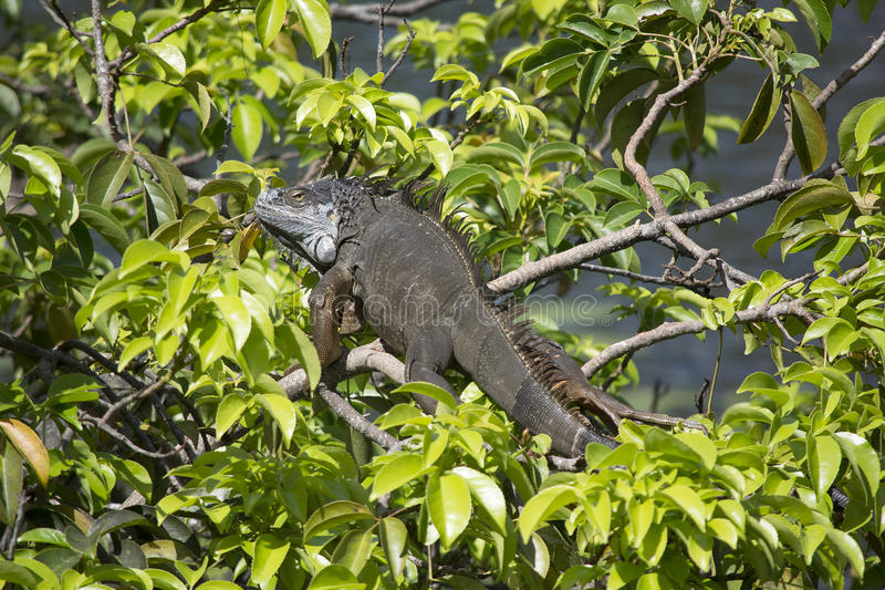 Green Iguana resting in a pond apple tree in the Florida sunshine. Green iguana with spines and grey scales escapes the heat by resting in a pond apple tree royalty free stock image