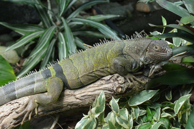 A Green Iguana. An iguana rests on a log surveying its realm royalty free stock photo