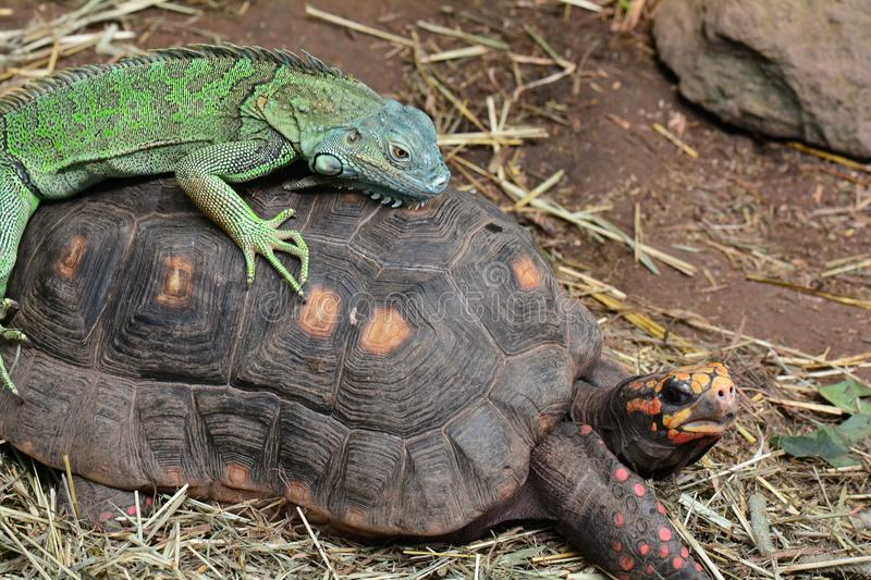 Green iguana. A green iguana rides on the back of a red footed tortoise royalty free stock image