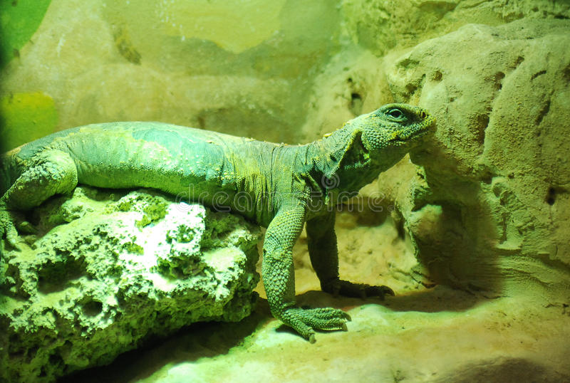 Green iguana. See my other works in portfolio royalty free stock image