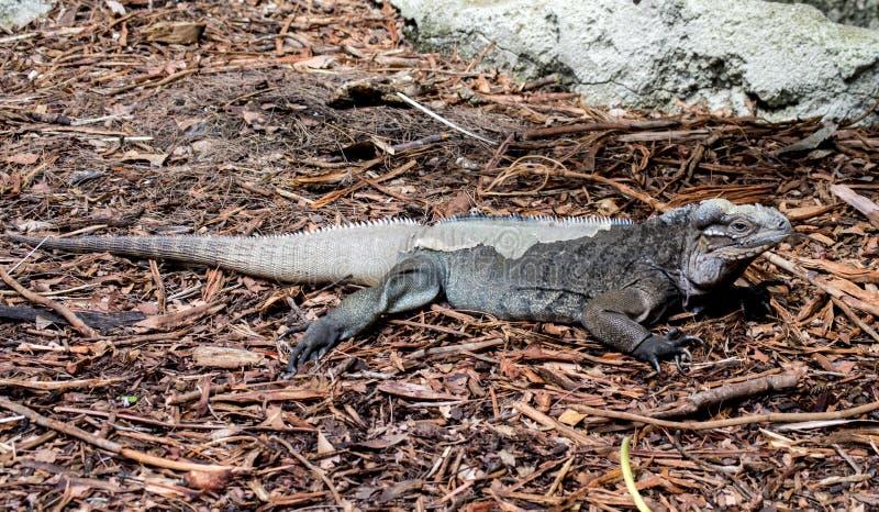 Download Green iguana shedding stock image. Image of reptile, look - 34271841