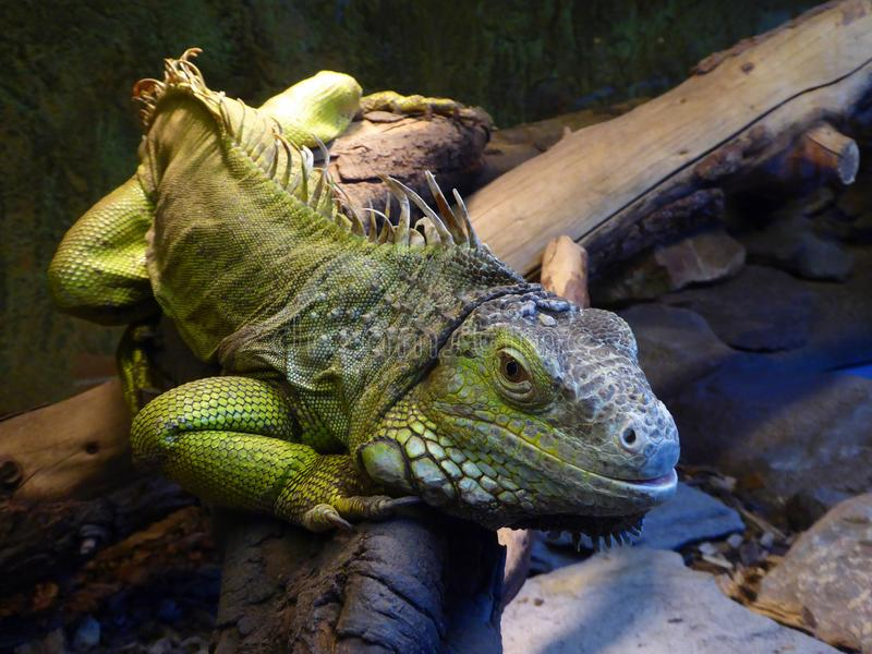 Green iguana sitting on branch stock images